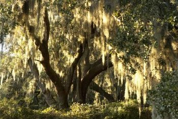 Weeping willows grow in moist to wet soil conditions.