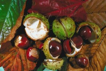 "Horse chestnut spiny seedpods open to reveal the smooth ""conker"" seeds."