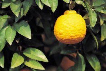 Lemon trees grow best in rich soils.