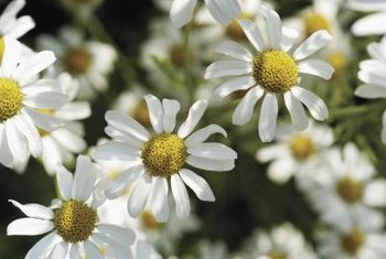 Chamomile belongs to the daisy family.