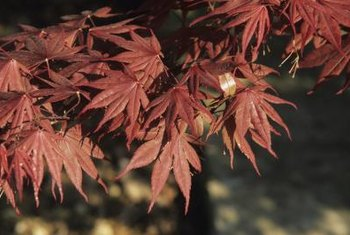 Red maple leaf hibiscus foliage could double for these Japanese maple leaves.