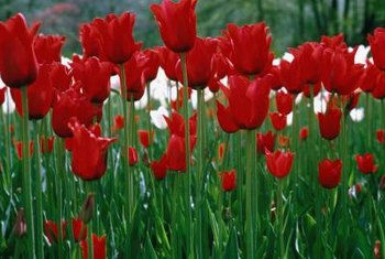 Tulips are low-maintenance if they successfully naturalize in the garden.