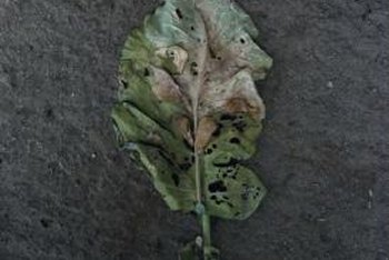 Brown, mottled leaves often indicate an aphid problem.