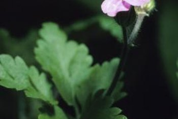 Geraniums root easily from stem cuttings.