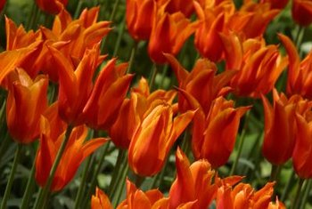 Tulips reproduce from bulbs instead of seeds.