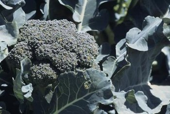 Each female cabbageworm can lay up to 600 eggs on broccoli plants.