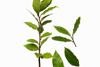 Bay laurel is a broadleaf evergreen that features edible, aromatic leaves.