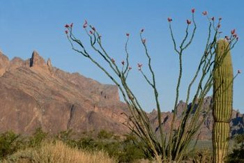 Ocotillo cacti blooms when it recieves enough moisture.