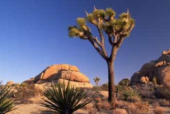 Fortunately, yucca trees require little pruning.