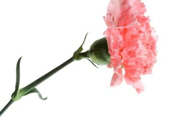 Carnations come in many colors and are long-lasting cut flowers.