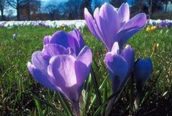 Crocus provides a small splash of color in early spring.