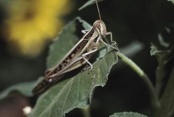 If a grasshopper is hungry enough, your tomatoes are at risk.