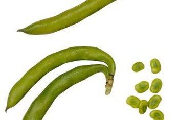 Fava bean pods can grow about 6 inches long.