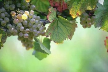 Grapes grow best in well-drained soil and plenty of sunlight.