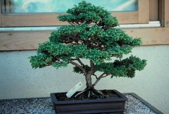 A small bonsai can provide inspiration for trimming your blue atlas cedar.