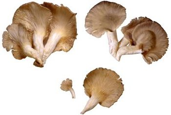 Oyster mushrooms typically grow on dead wood or on deciduous trees.