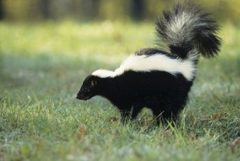 Although skunk spray's odor can be awful, skunks possess docile dispositions.
