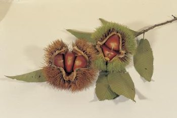 Use caution when handling the prickly burs surrounding chestnuts.