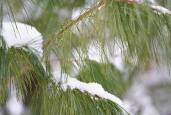 White pines are long-needled pines.