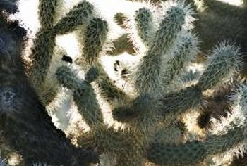 Cactus with branching stems.