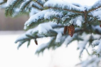 Serbian spruce cones are purple when they first emerge, then change to reddish-brown.