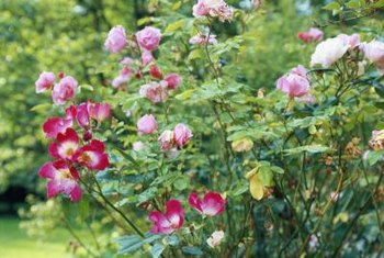 Plant roses where they get at least six hours of direct light per day.
