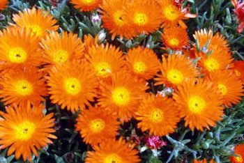 Plant ice plant in a rock garden or use as a ground cover.