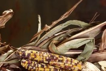 Indian corn comes from seeds saved over the years by Native Americans.