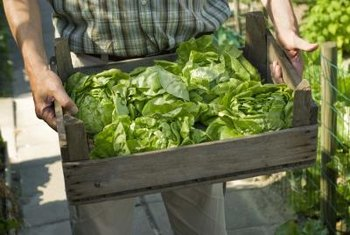 A lettuce consists entirely of edible leaves, once the roots are trimmed off.
