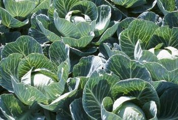 Cabbage (Brassica oleracea) is especially susceptible to white mold.
