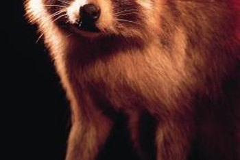 "The raccoons' ""mask"" is a suitable marking for this nocturnal food bandit."