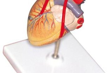 Each part of the human heart has a very distinct role in blood circulation.