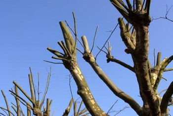 Improper pruning weakens crape myrtle trees.
