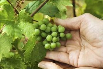 Removing excess foliage and vines allows the grapes to ripen in the sun.
