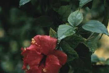 """Lucy"" rose of Sharon produces large, dramatic red flowers."