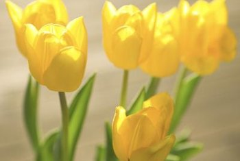 Tulips wake up a window sill or flower bed.