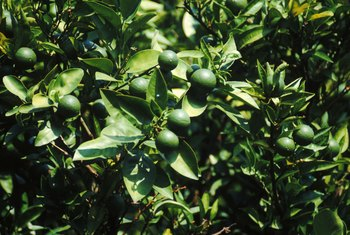 Nutrient deficiency will cause your lime tree's leaves to turn yellow.