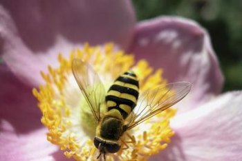 Chemical poisoning can make bees aggressive.
