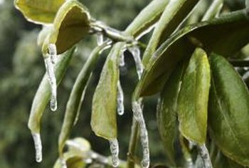 Cold weather causes rhododendron leaves to curl.