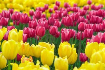 Fertilizer helps tulips bloom year after year.