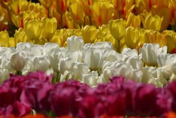 Tulips bloom in various single colors and mixed colors.