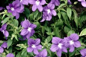 Vinca vine plants produce five-petaled blue or violet flowers during the spring.