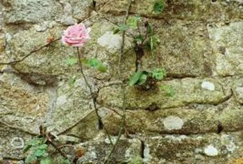 Vines often thrive on gravel and other rocky surfaces.