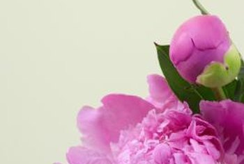 Peonies in bud and bloom add bright color to the spring landscape.