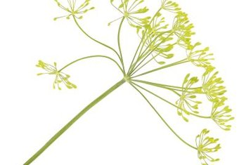 Fennel seeds might help strengthen bones.