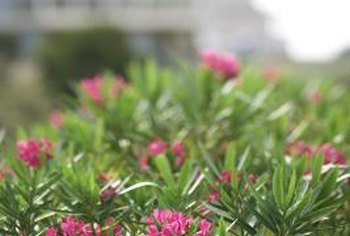Oleanders produce single or double red, pink and white blooms.