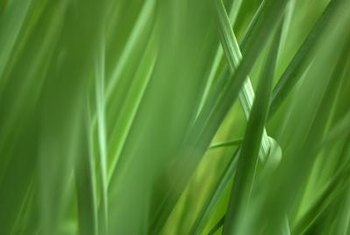 Like its ancestor, pasture grass, tall fescue grows very fast.