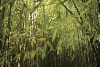 Bamboo, like grass, belongs to the Poaceae plant family