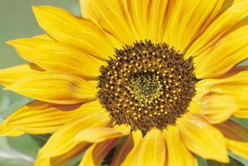 Sunflowers come in many different types, but most have yellow long-petaled blossoms.