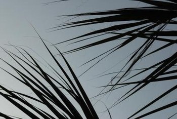 Avoid wetting the palm leaves with irrigation.